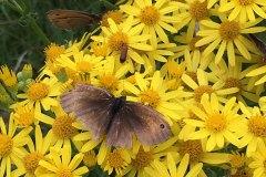 Big-moth-yellow-flowers