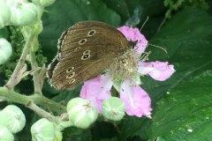 Moth-on-pink-buds