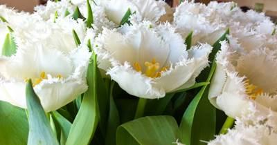 A Tulip1